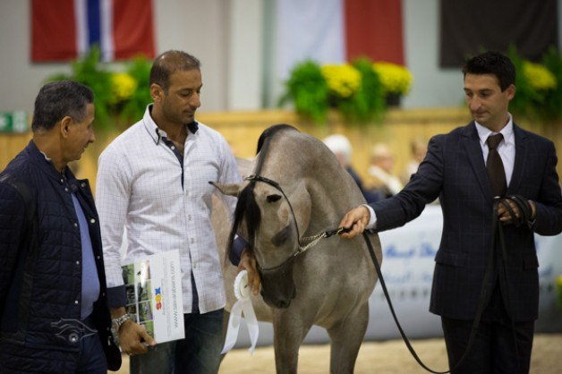 مربط دبي يحقق ثلاثة ألقاب عالمية في جمال الخيول العربية