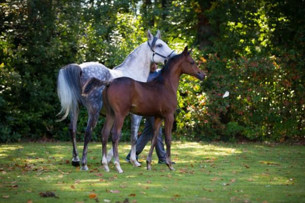 خبراء: الخيول العربية «كنز» وندعو لإكثارها بـ«نقل الأجنة» و«التلقيح الصناعي»
