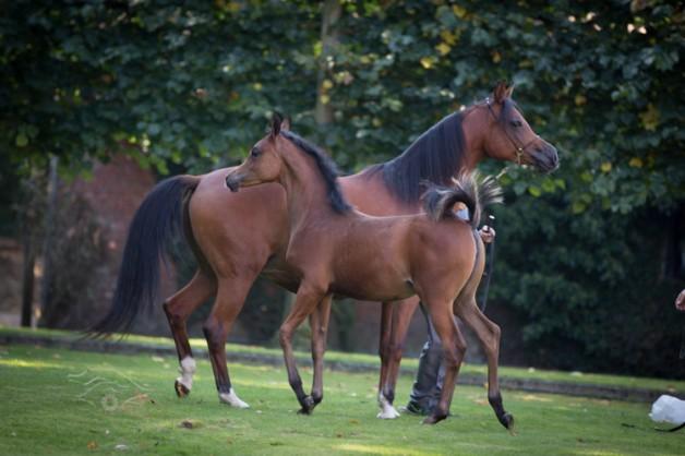 الكويت تحظر استيراد الخيول من ألمانيا