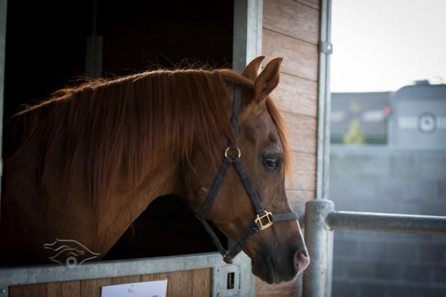 """حركات الاذان """"أداة للتواصل"""" بين الخيول"""