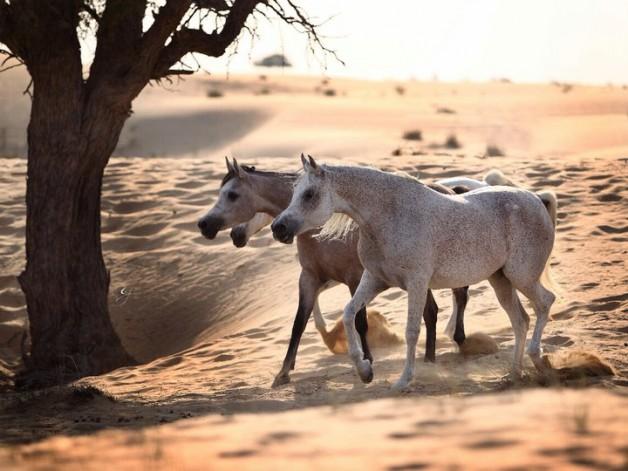 معرفة الخيل العربية بين الماضي والحاضر