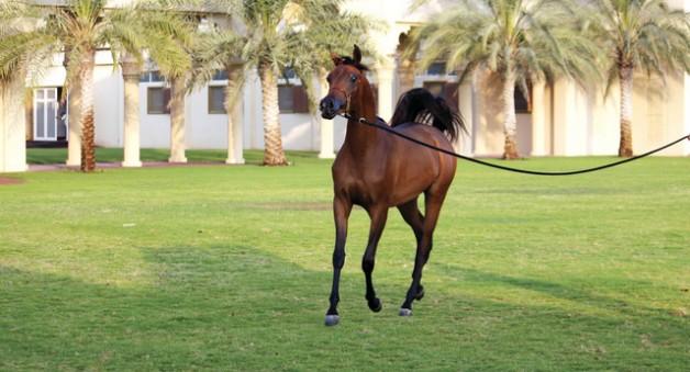 15خيلاً تُمثّل مربط دبي للمنافسة على ألقاب البطولة الوطنية للجمال