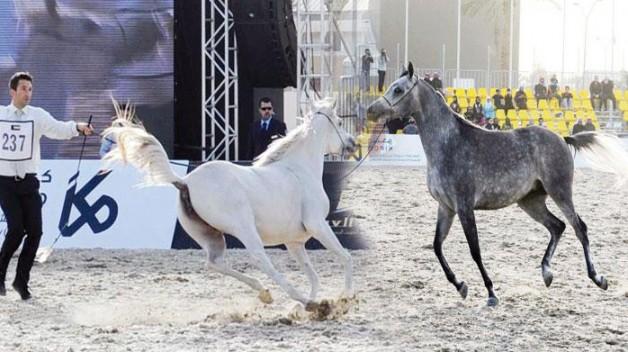 بطولة الكويت الثانية لجمال الخيل العربية المنتجة محليا تفتح التسجيل