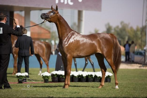 خاص: البطولة الوطنية السادسة لجمال الخيل العربية تقام بـ «الخالدية» في شهر أبريل القادم