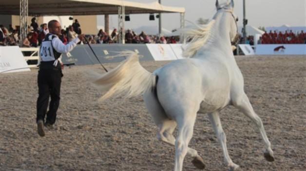 الكويت تنظم مهرجان جمال الخيول العربية الخميس المقبل والمشاركات تتجاوز الـ ٥٠٠ من الخيل
