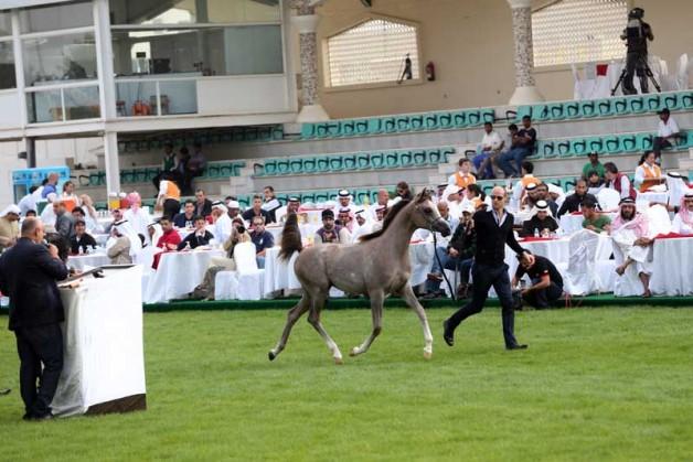 بمبيعات قاربت مليونان ونصف ينجح مزاد أبوظبي لجمال الخيول العربية 2014