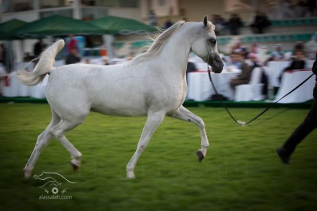 مزاد ابوظبي للخيول العربية   ٢٠١٥ يدشن اليوم
