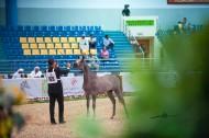 85 حصاناً في مهرجان الشارقة للجواد العربي