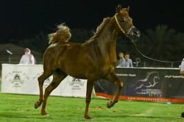 انطلاق بطولة الأحساء الوطنية السابعة لجمال الخيل العربية الأصيلة