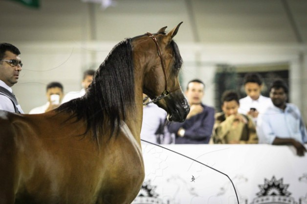 مقتطفات اليوم الأول من بطولة الأحساء لجمال الخيل العربية الأصيلة ٢٠١٤
