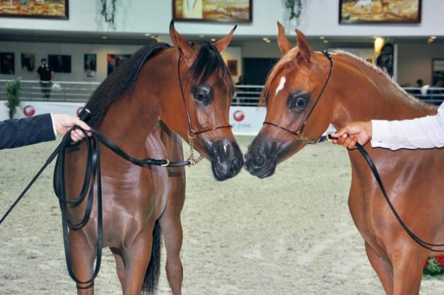 مربط دبي يتوعد بطولات الموسم الأوروبي بأجمل الخيول
