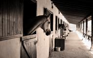 Opposition to relaxing quarantine rules on Saudi Arabian horses