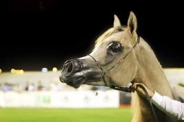 البطولة الوطنية السابعة لجمال الخيل العربية الأصيلة تقام بالأحساء في ابريل المقبل