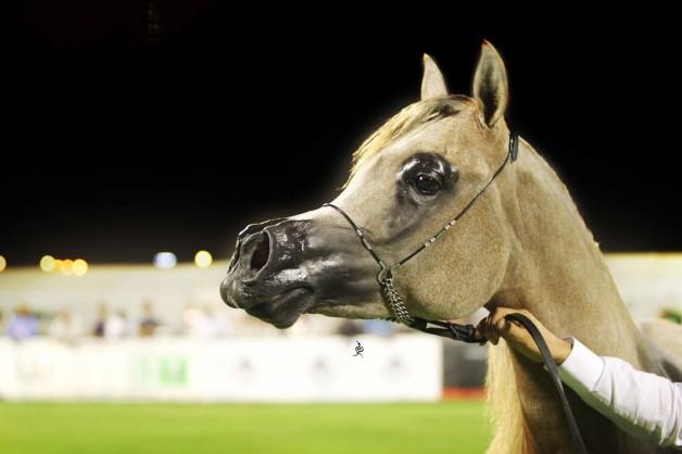 الأحساء تستعد لاحتضان البطولة الوطنية التاسعة لجمال الخيل العربية ٢٠١٨