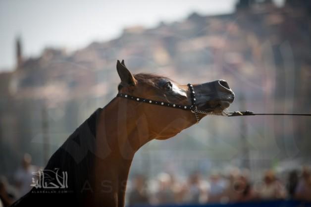 """بطولة منتون الدولية ٢٠١٥ لجمال الخيل العربية الأصيلة بالأرقام! """"انفوجرافيكس"""""""
