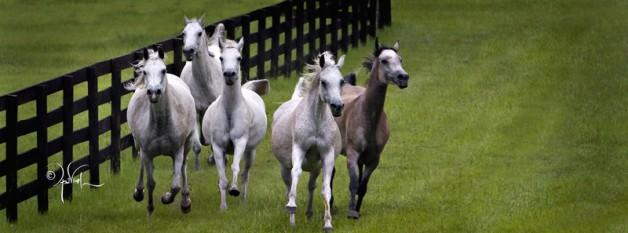 مؤسسة الحصان العربي الأمريكية تمول عدد من البحوث الصحية للخيول العربية الأصيلة