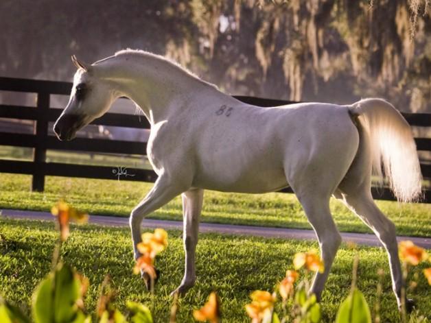 وكالة الأنباء الأميركية: حركة تجارية غير معهودة للخيول العربية في الولايات المتحدة بطلب من مشترين سعوديين