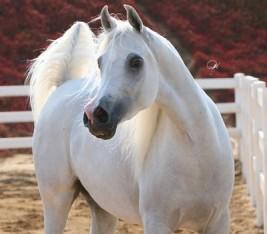 الحمل والولادة في الخيول .. متابعة وترقب – الجزء الثالث