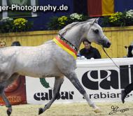 بطولات الشرق الأوسط للخيول العربية الأصيلة تشهد مشاركة واسعة