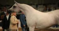 نتائج بطولة دبي الدولية للخيل العربية الاصيلة  ٢٠١١ بالصور