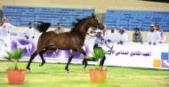 انطلاق بطولة الأحساء لجمال الخيل العربية.. الخميس