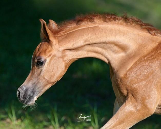 الحمل والولادة في الخيول .. متابعة وترقب – الجزء الرابع