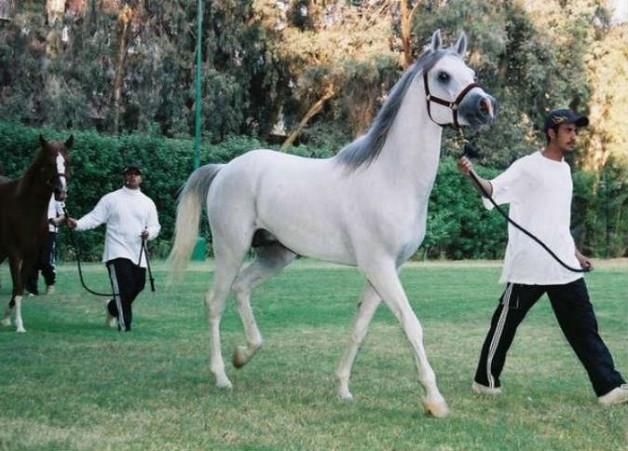 غدا بالقاهرة انطلاق البطولة الوطنية والدولية للخيول العربية الأصيلة