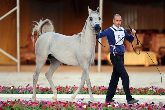 منافسات قوية في افتتاح بطولة الكويت الوطنية الثالثة لجمال الخيل العربية