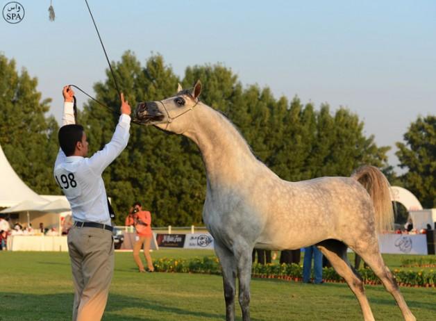 ٣١٣ رأس من الخيل تتنافس على بطولة منطقة مكة المكرمة (جدة) السادسة لجمال الجواد العربي