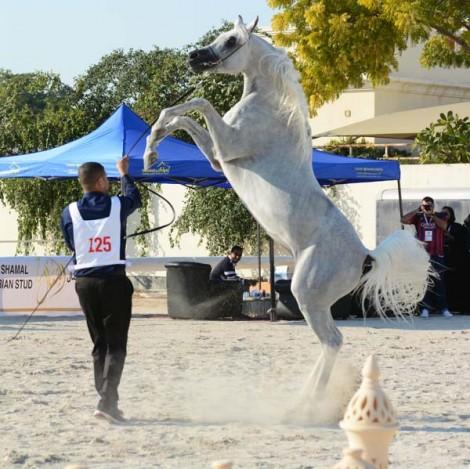 مقتطفات من بطولة البحرين المحلية لجمال الخيل العربية الأصيلة ٢٠١٥