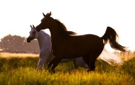 البلوغ الجنسي للحصان والفرس .. علامات وتغيرات