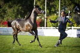 مزاد أبوظبي للخيول العربية بمشاركة 33 جوادا غداً الجمعة – قائمة الخيل المعروضة