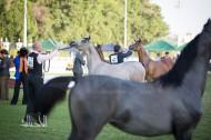 597 من الخيل تتنافس في دولية أبوظبي لجمال الخيول العربية 2018