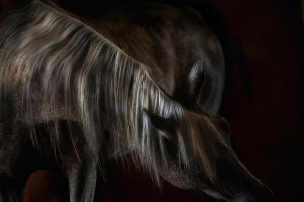 سلوكيات الخيل الشاذة وكيفية علاجها – الجزء الثاني