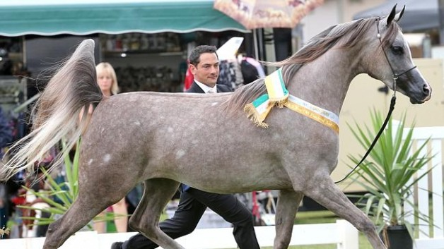Arabians popularity continues after 6000 years