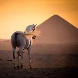 الخيل العربية وتجارب المنتجين العرب