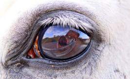 حاسة البصر لدى الخيل – نظرة تفصيلية