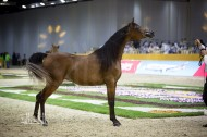 DUBAI INTERNATIONAL ARABIAN HORSE CHAMPIONSHIP AND FAIR OPEN TOMORROW