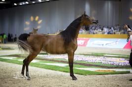 DUBAI INTERNATIONAL ARABIAN HORSE CHAMPIONSHIP AND FAIR OPEN TOMORROW