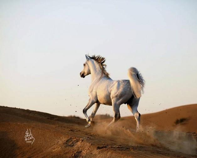 «الزراعة»: 30 دولة ترفع الحظر عن الخيول الكويتية بعد سلامتها من مرض «الرعام»