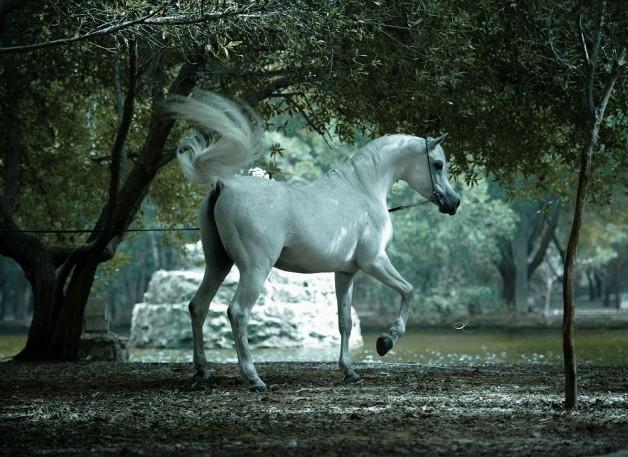 118 قسيمة في الوفرة لتربية «الخيول العربية الأصيلة»