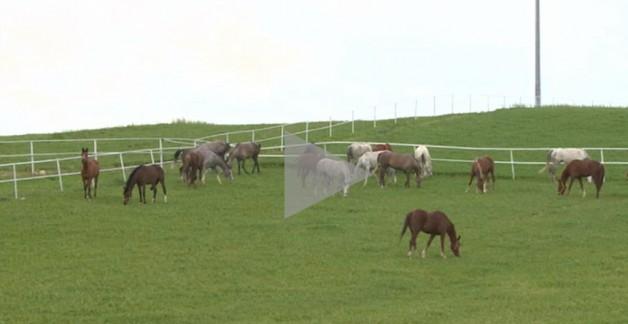 فيديو: تربية الخيول العربية في مدينة إسكي شهير التركية