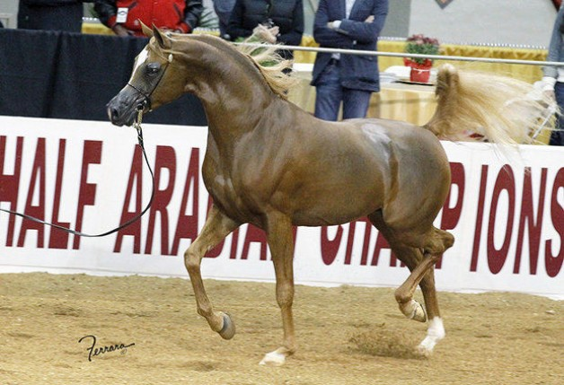 Arabian horses to be a part of the 2015 Central Park Horse Show