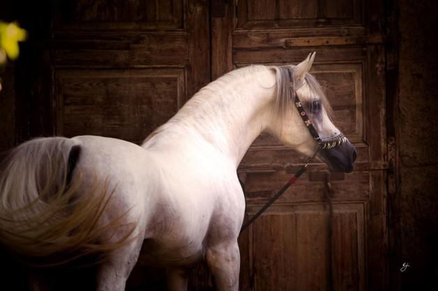الحكومة السورية تقرر منح الخيول العربية الأصيلة جوازات سفر