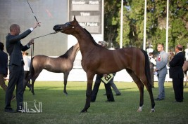 398 خيلاً تتنافس في بطولة الإمارات لمربي الخيول العربية 2018 اليوم في أبوظبي