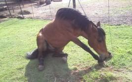 مرض حمى غرب النيل في الخيول