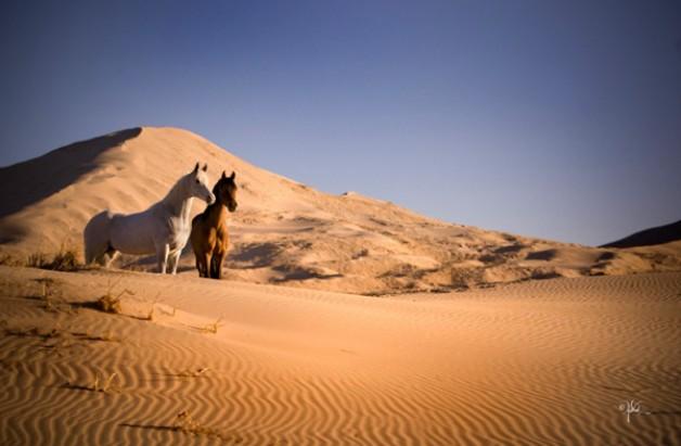 رسمياً : رفع الحظر على استيراد الفصيلة الخيلية من دولة الكويت الشقيقة