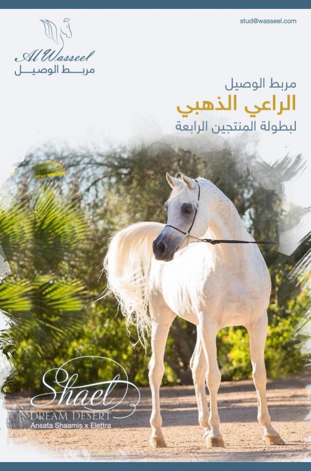 مربط الوصيل الراعي الذهبي لبطولة المنتجين الرابعة لجمال الخيل العربية