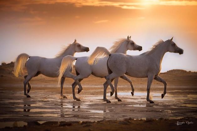 ذوات الفقرات الخمس! – الخيول العربية
