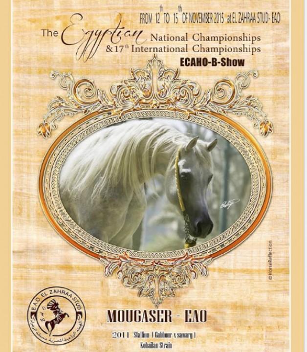 فتح التسجيل في بطولة مصر الدولية لجمال الخيول العربية ٢٠١٥